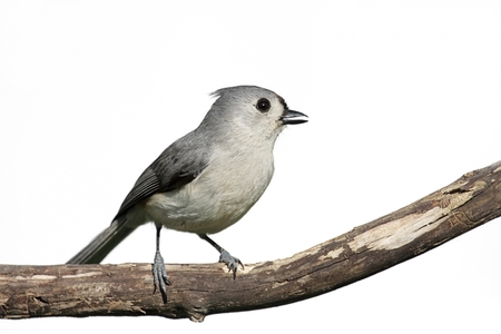 Tufted Titmouse (Baeolophus bicolor) on a stump - Isolated on a white background