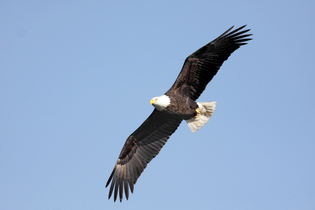 Adult Bald Eagle (haliaeetus leucocephalus) in flight against a blue sky Stock Photo