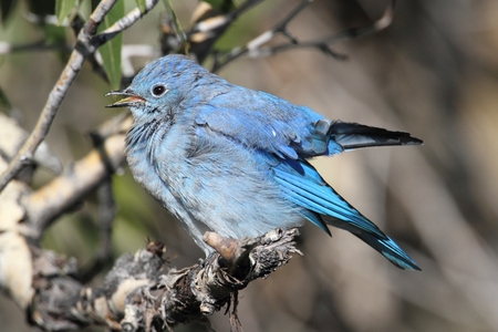 Male Mountain Bluebird (Sialia currucoides) in Yellowstone National Park 免版税图像