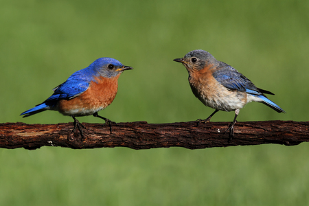 Pair of Eastern Bluebird (Sialia sialis) on a log Stock Photo