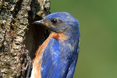 Male Eastern Bluebird (Sialia sialis) by a nest hole Stock Photo