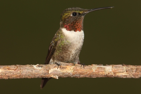 Male Ruby-throated Hummingbird (archilochus colubris) on a perch with a green background