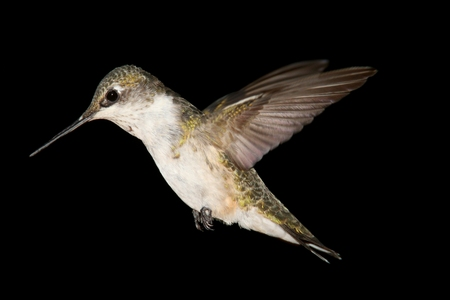 Juvenile Ruby-throated Hummingbird (archilochus colubris) in flight with a black background Stock Photo