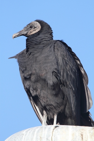 Black Vulture (Coragyps atratus) perched with a blue background