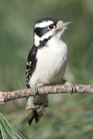 Downy Woodpecker (Picoides pubescens) on a pine tree Stock Photo