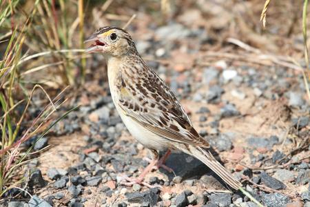 Threatened Grasshopper Sparrow (Ammodramus savannarum) in grass and gravel Reklamní fotografie