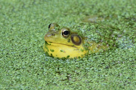 Green Frog (Rana clamitans) calling in a pond surrounded by duckweed
