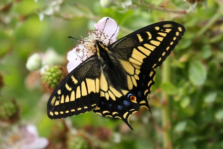 Oregon Swallowtail Butterfly (Papilio oregonius) on blackberry flowers Banco de Imagens