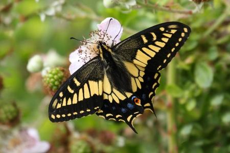 Oregon Swallowtail Butterfly (Papilio oregonius) op blackberry bloemen Stockfoto