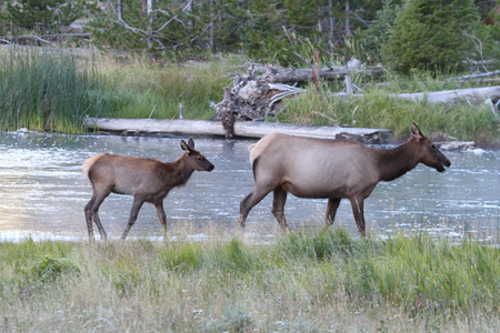 wapiti: calf (Cervus canadensis) and mother.