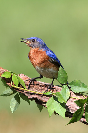 Male Eastern Bluebird (Sialia sialis) vine covered branch Stock Photo