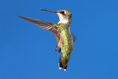 Ruby-throated Hummingbird (archilochus colubris) in flight with blue background