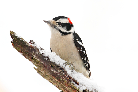Downy Woodpecker (Picoides pubescens) on a branch with snow isolated with a white background