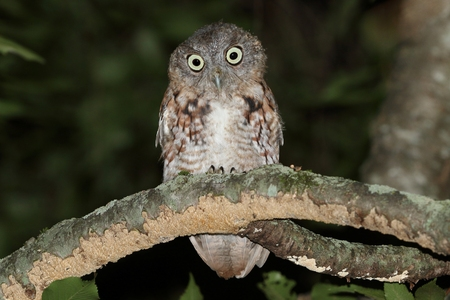 megascops: Juvenile Eastern Screech-Owl (Megascops asio) in a tree at night - Red form