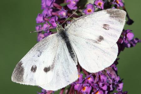 pieris: Cabbage White (Pieris brassicae) Butterfly on Butterfly Bush Flowers