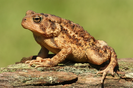 American Toad (Bufo americanus) with a green background Banque d'images