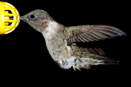 Male Ruby-throated Hummingbird (archilochus colubris) with a black background