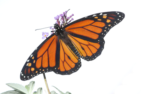 Mannelijke Monarchvlinder (danausplexippus) die op wit met bloemen wordt geïsoleerd Stockfoto