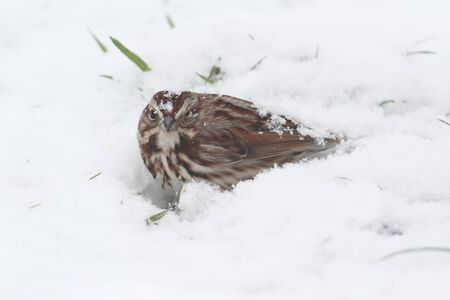 Song Sparrow (Melospiza melodia) sitting in snow Banco de Imagens