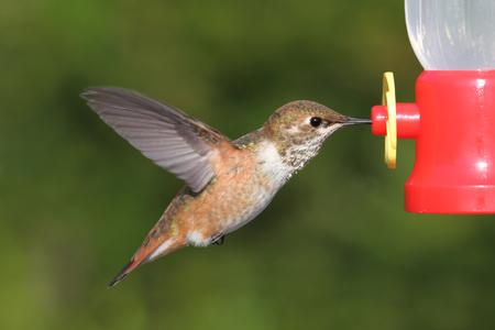 녹색 배경으로 급 지대에서 비행에서 Allens Hummingbird (Selasphorus sasin) 스톡 콘텐츠