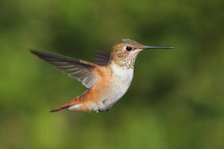 Allens Hummingbird (Selasphorus sasin) in flight