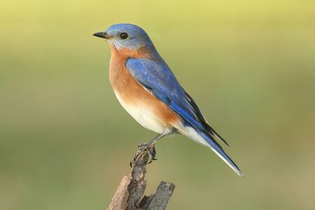 Male Eastern Bluebird (Sialia sialis) on a perch with a green background 스톡 콘텐츠