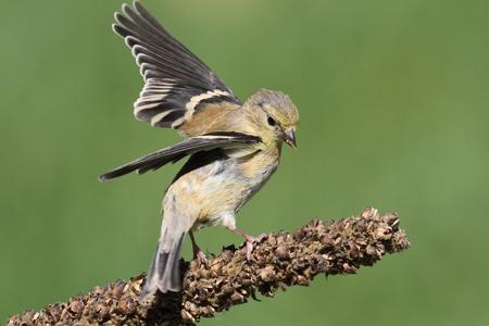 미국 Goldfinch (Carduelis tristis) 녹색 배경으로 자리 잡고