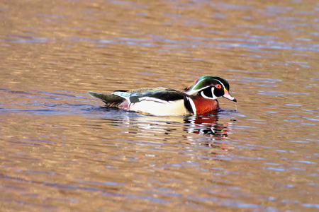 Male Wood Duck (aix sponsa) swimming in colorful water