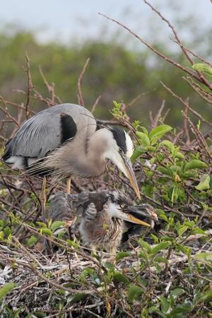 그레이트 블루 헤론 (Ardea Herodias) 플로리다에 버 글레이즈에 그녀의 배고픈 아기를 먹이