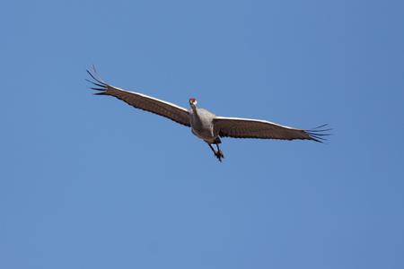 뉴 멕시코의 보스 케 델 아파치 (Bosque del Apache)에서 비행기에서 Sandhill Crane (두루미 canadensis)
