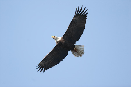 Adult Bald Eagle (haliaeetus leucocephalus) in flight against a blue sky Foto de archivo