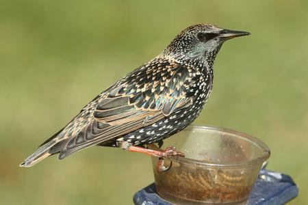 녹색 배경을 급 지대에 겨울 깃털 유럽 Starling (Sturnus vulgaris)
