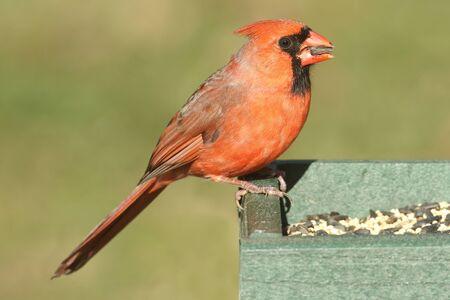 녹색 배경을 급 지대에 남성 북부 추기경 (cardinalis)