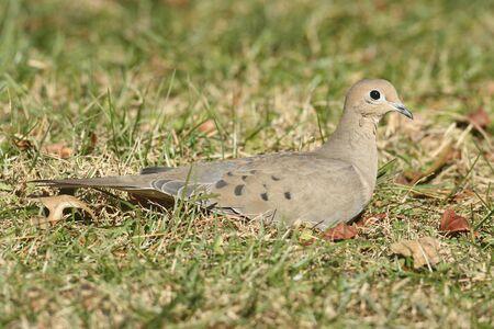 애도 비둘기 (Zenaida macroura) 잔디 필드에서