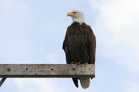 Adult Bald Eagle (haliaeetus leucocephalus) perched against a blue sky Stock Photo
