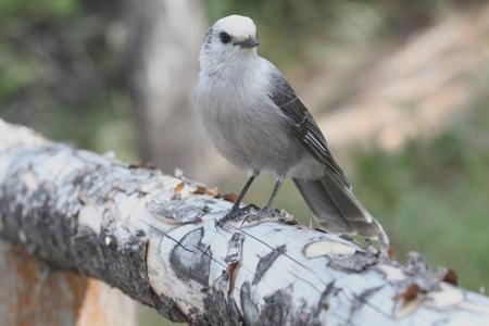 회색 제이 (Perisoreus canadensis) 옐로 스톤 국립 공원에서