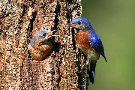 둥지 구멍에 의해 동부 Bluebirds (Sialia sialis)의 쌍