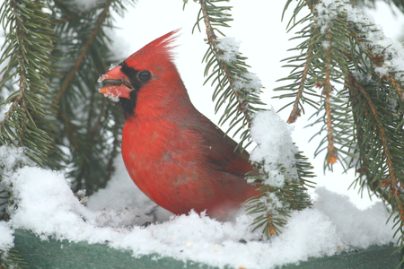 Cardenal norteño masculino (cardinalis cardinalis) en un alimentador en una tormenta de nieve Foto de archivo - 91588215