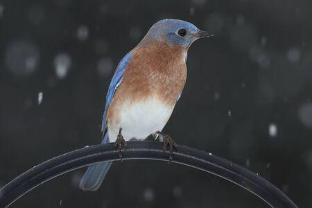 떨어지는 눈 농 어에 남성 동부 쪽 파랑 새 (Sialia sialis)