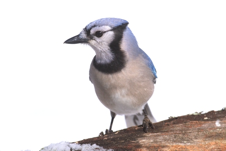 블루 제이 (corvid cyanocitta) 겨울에 눈