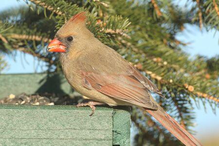 소나무 가지와 급 지대에 여성 북부 추기경 (cardinalis)