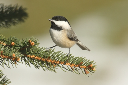 Black-capped Chickadee (poecile atricapilla) on a pine tree branch