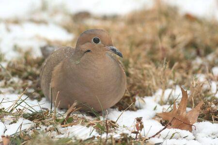 애도 비둘기 (Zenaida macroura) 겨울에 눈이