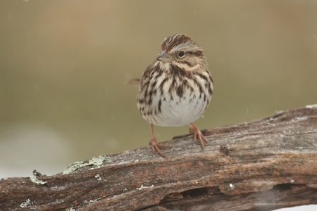 Song Sparrow (Melospiza melodia) perched on a tree limb in winter Banco de Imagens