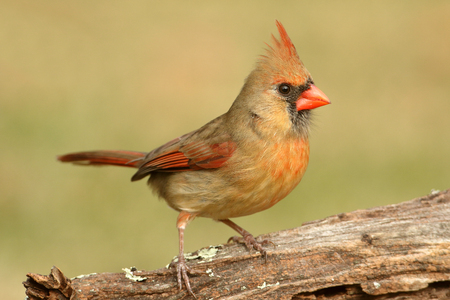 Female Northern Cardinal (cardinalis) on a log 版權商用圖片