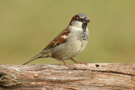 House Sparrow (Passer domesticus) perched on a log with a green background