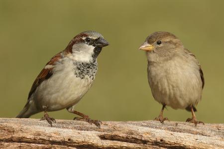 남성 (왼쪽)과 여성 (오른쪽) 하우스 참새 (통행 인 domesticus) 녹색 배경 로그에 자리 잡고