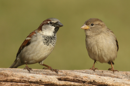 Male (left) and Female (right) House Sparrows (Passer domesticus) perched on a log with a green background Фото со стока
