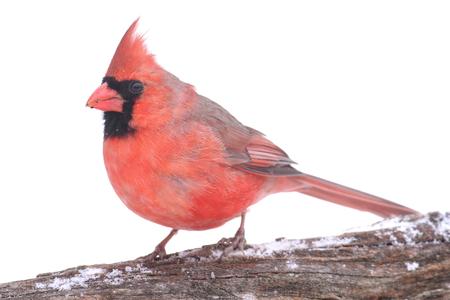 눈이 함께 지점에 남성 북부 추기경 (cardinalis cardinalis) 스톡 콘텐츠