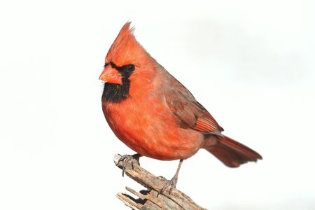 흰색 배경으로 분기에 남성 북부 추기경 (cardinalis cardinalis) 스톡 콘텐츠